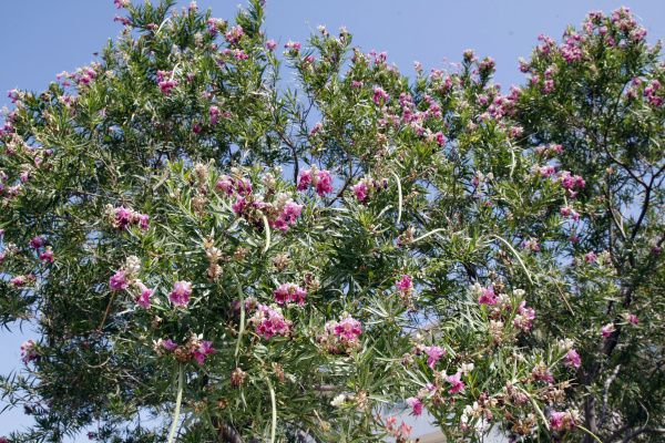 Desert willow. This native and its hybrids are popular because of their extreme drought-tolerance and long flowering period. They are smaller trees that grow rapidly and can provide a pretty alternative to the crape myrtle. Place it with other drought-tolerant plants to avoid overwatering.