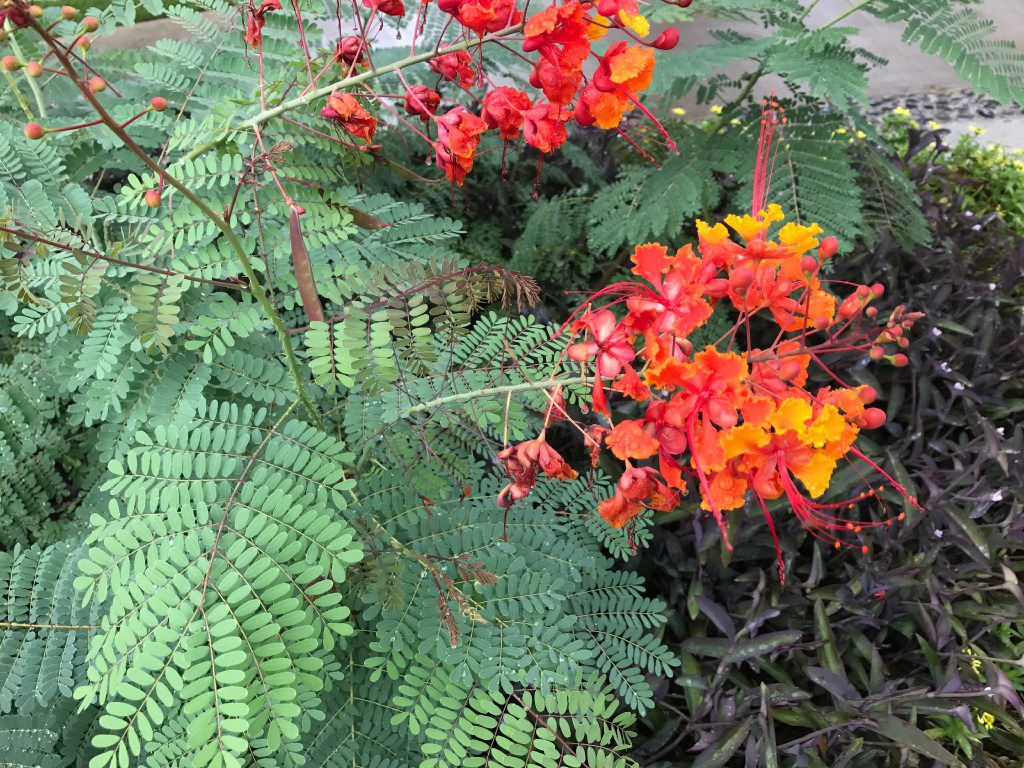 The pride of Barbados (Caesalpinia pulcherrima) has foliage with a delicate and lacy texture.