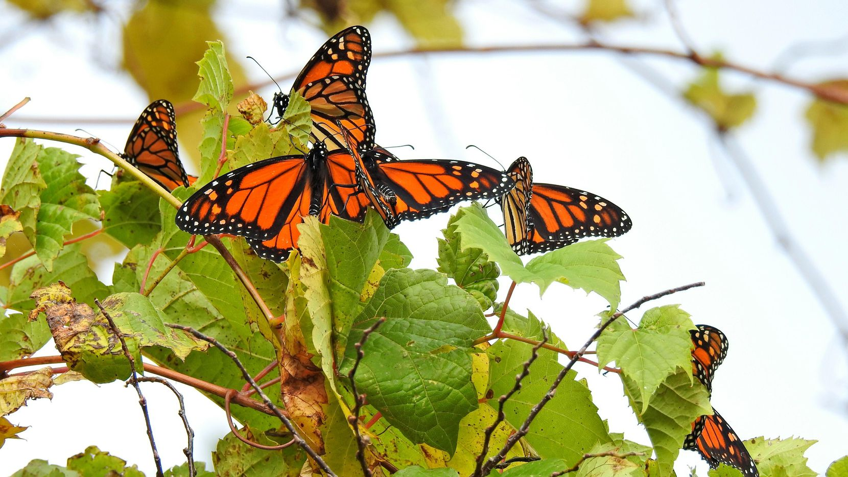 Una mariposa monarcha en Point Pelee National Park, en Canadá.(AP)