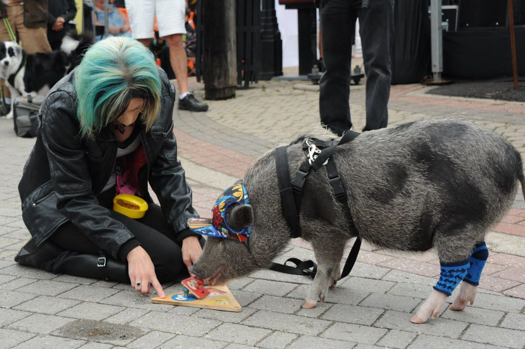 Norman wows the crowd with his ability to place shapes in the puzzle at the annual pet parade at the Deep Ellum Arts Festival in Dallas on April 5.