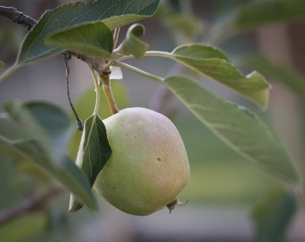 An apple grows on a tree in Richardson.