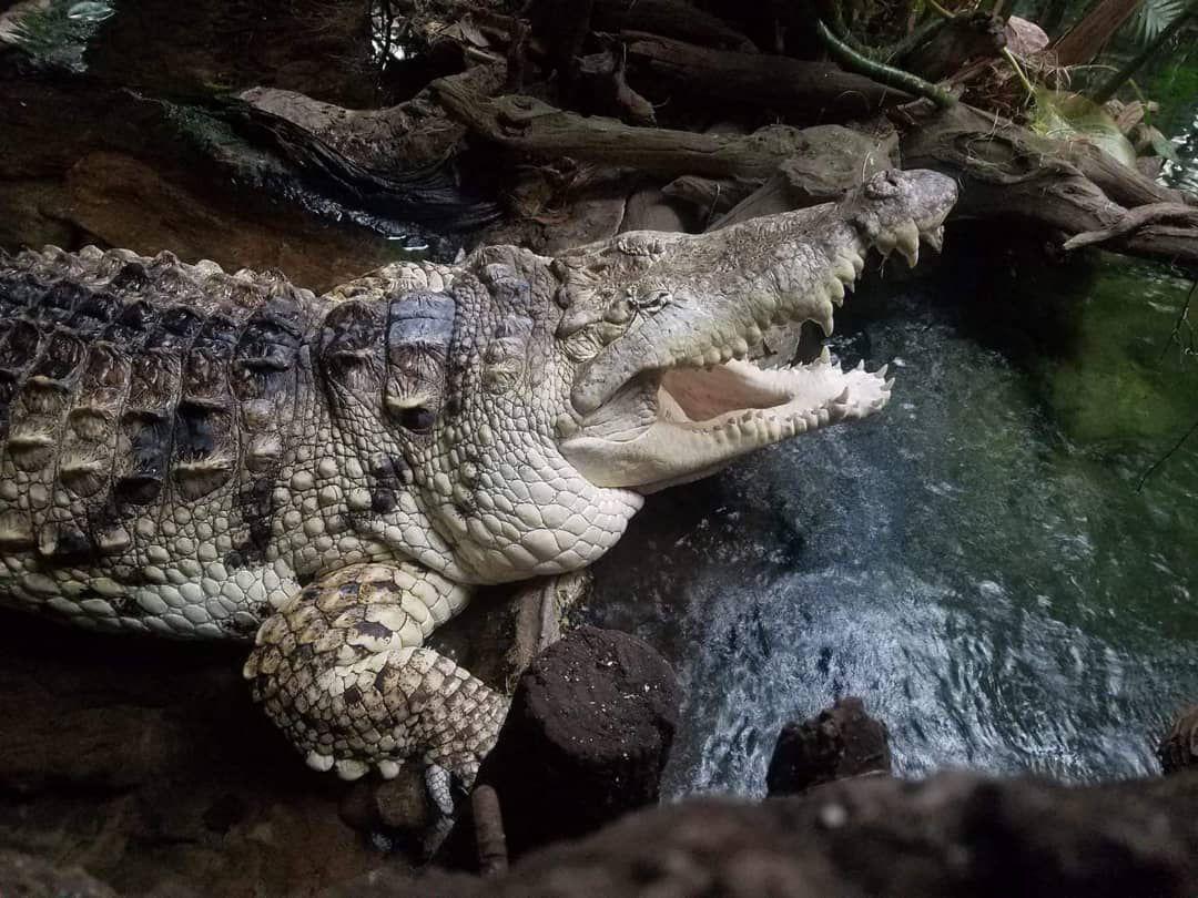 """Desde 1998, el cocodrilo """"Juancho"""" forma parte de la exhibición """"Orinoco: secretos del río"""" en el Acuario Mundial de Dallas El cocodrilo vivió con una familia en Carúpano, Venezuela. CRISHTBEL MORA/Especial para AL DÍA"""