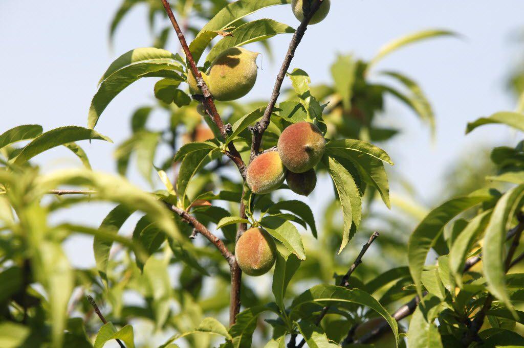 A peach tree starting to bear fruit