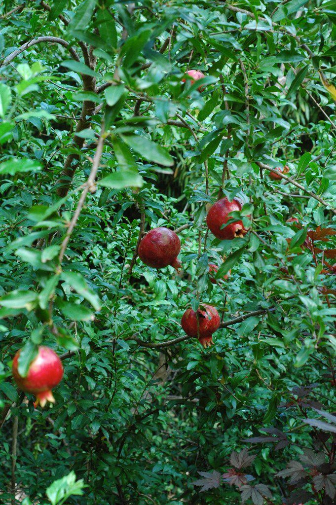 Pomegranate trees produce edible fruit.