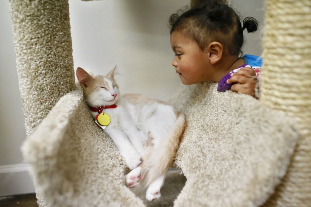Paisley Real, 16 months, pokes her head in on JD or Cato (two identical cats that the workers can't discern) on the opening day of Cat Connection, the first cat cafe in Dallas August 8, 2015.