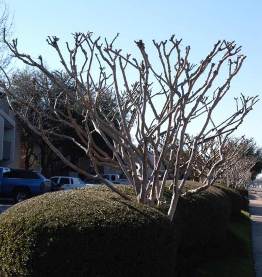 Improper crape myrtle pruning wastes time and money, looks ugly and hurts flower production.