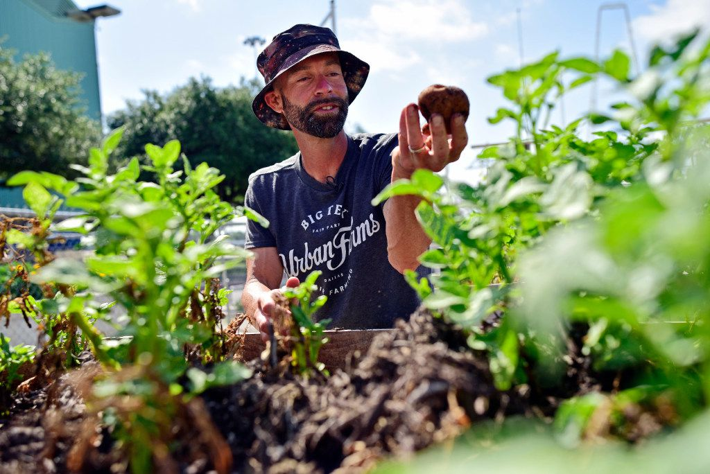 Drew Demler, manager of Big Tex Urban Farms, picks Kennebec potatoes for donation at the farm inside Fair Park in Dallas.