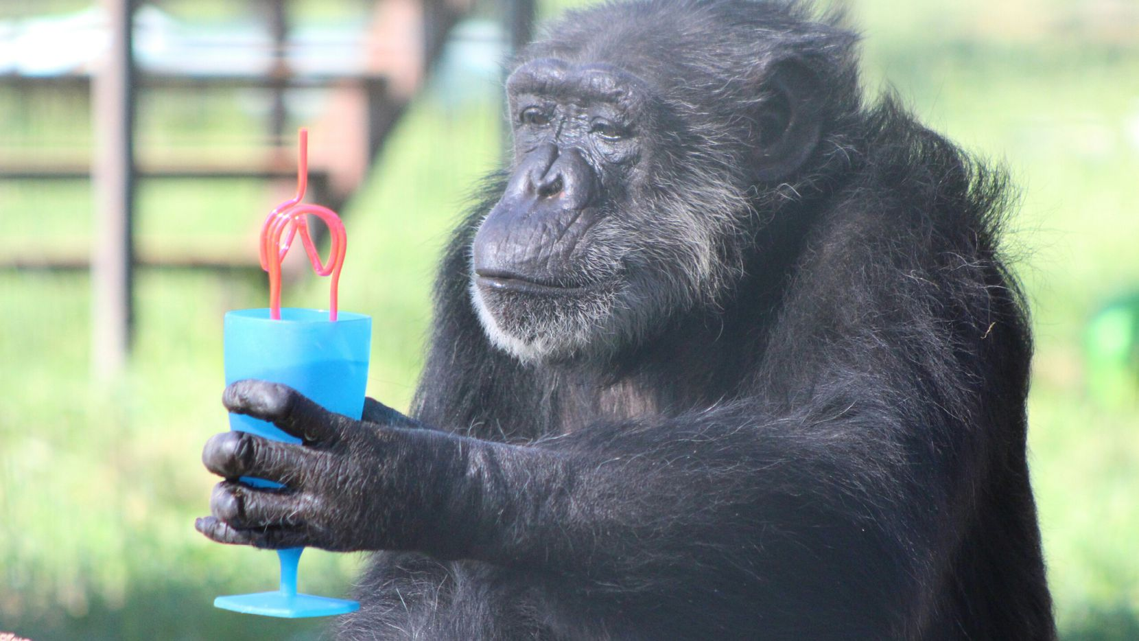 Lulu Belle, a chimpanzee at Cleveland Amory Black Beauty Ranch in Murchison, Texas, drinks sugar-free Kool-Aid from a cup. It's her favorite treat.