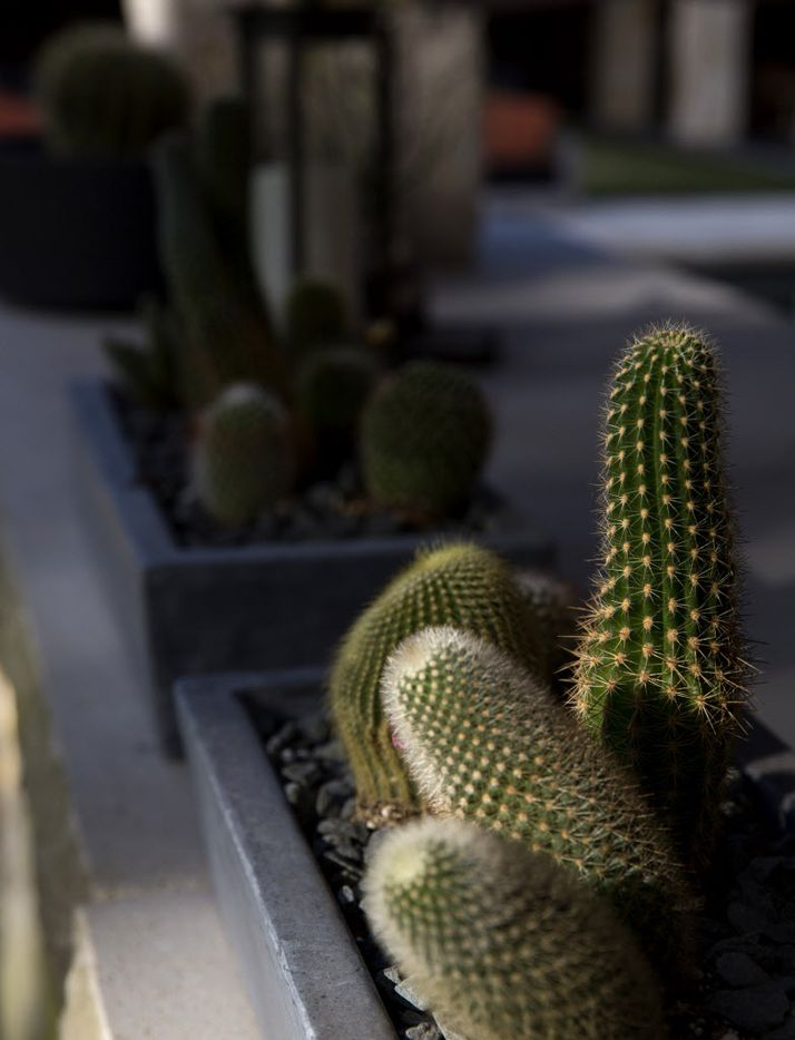 Cacti soak up late-afternoon sun in the outdoor cooking area at chef Kent Rathbun's home Wednesday, November 11, 2015 in Dallas. (G.J. McCarthy/The Dallas Morning News)