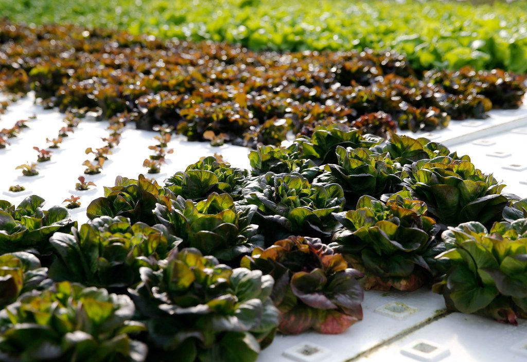 Profound Microfarms grows different types of lettuce hydroponically.