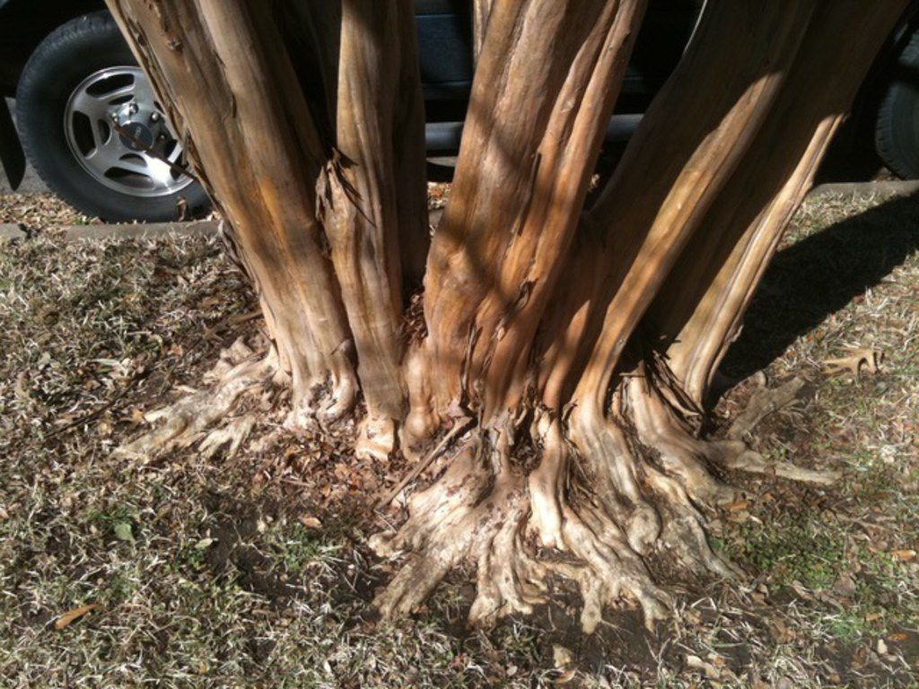 This crape myrtle tree has a properly exposed trunk flare.