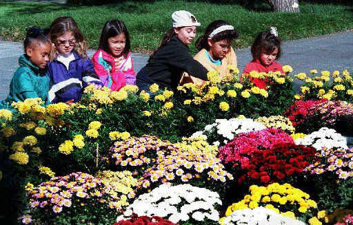 The Girl scouts from troop #2640, Mitchell Elem school in Plano, look at some of the 14,000 blooming chrysanthemums in October, 1997. (Staff Photo)