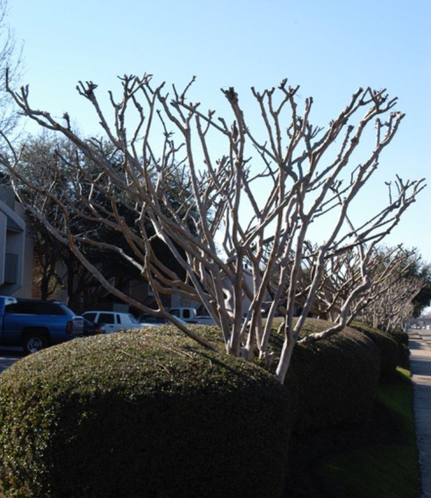 Improper crepe myrtle pruning wastes time and money, looks ugly and hurts flower production.