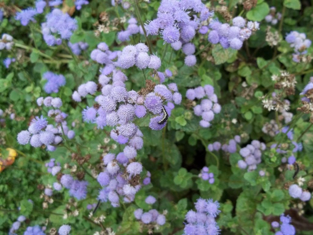 Blue mistflower, or Conoclinium coelestinum, is a native species that helps pollinators.