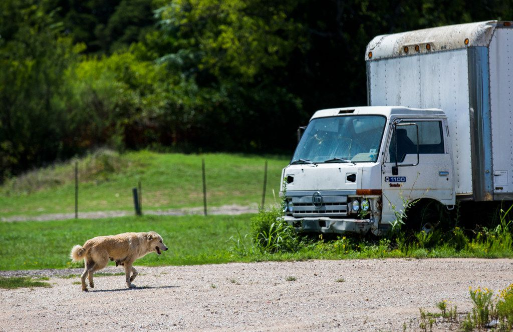 A stray dog walks on the road Thursday in Hutchins near where Relle Austin of Dallas Street Dog Advocates and her team recently rescued a pack of 29 dogs.