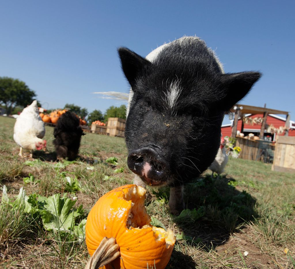 Lola the pig and some chickens snack on pumpkin and lettuce at Lola's Local Market.