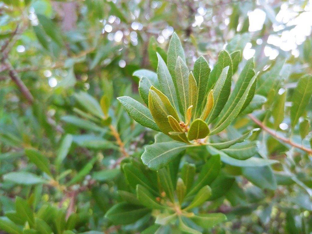 Wax myrtle leaves also make a great substitute for bay leaves.