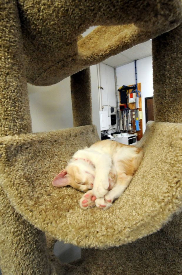 Cato takes a nap at Cat Connection featuring adoptable cats from Operation Kindness in Dallas, TX on August 8, 2015.