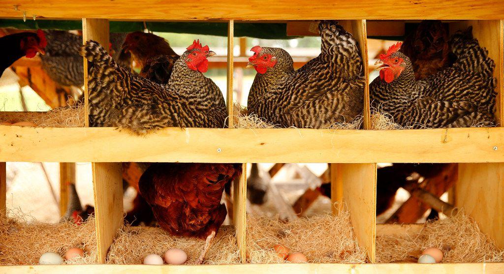 Hens sit on their eggs in a hen house on the Bois d'Arc farm.