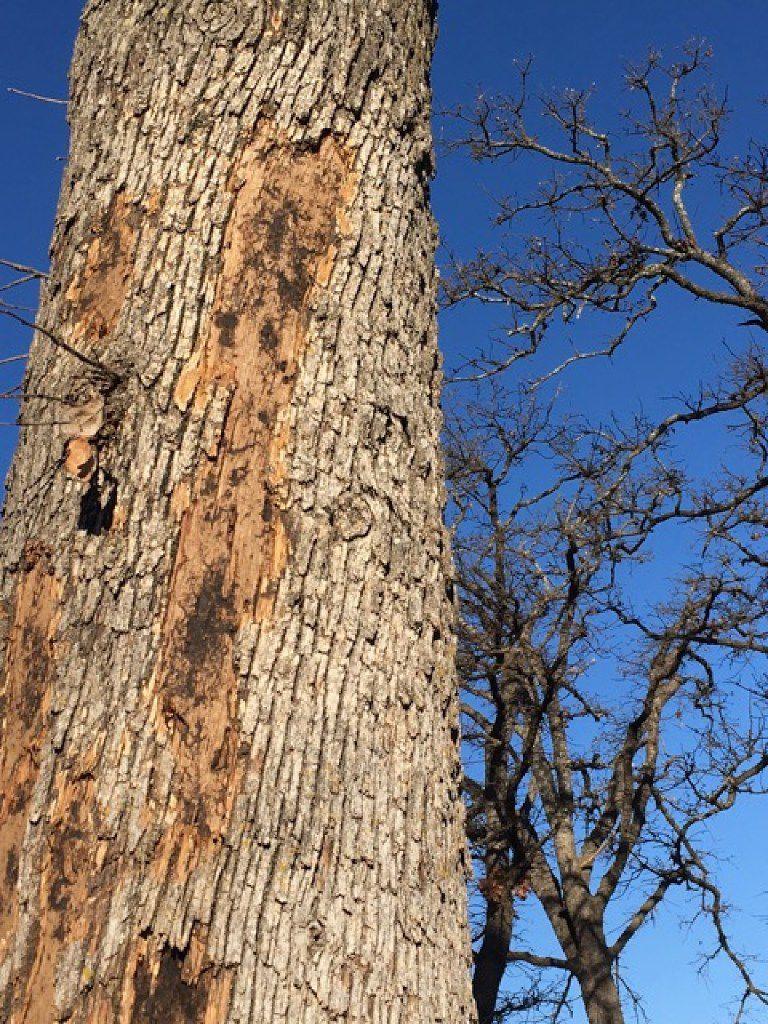 Reader photo of bark coming off of oak tree  GARRETT