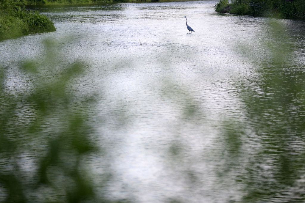 A great blue heron lands along the Elm Fork Trinity River at Lake Lewisville Environmental Learning Area in Lewisville, Texas on Monday, June 18, 2018. (Rose Baca/The Dallas Morning News)