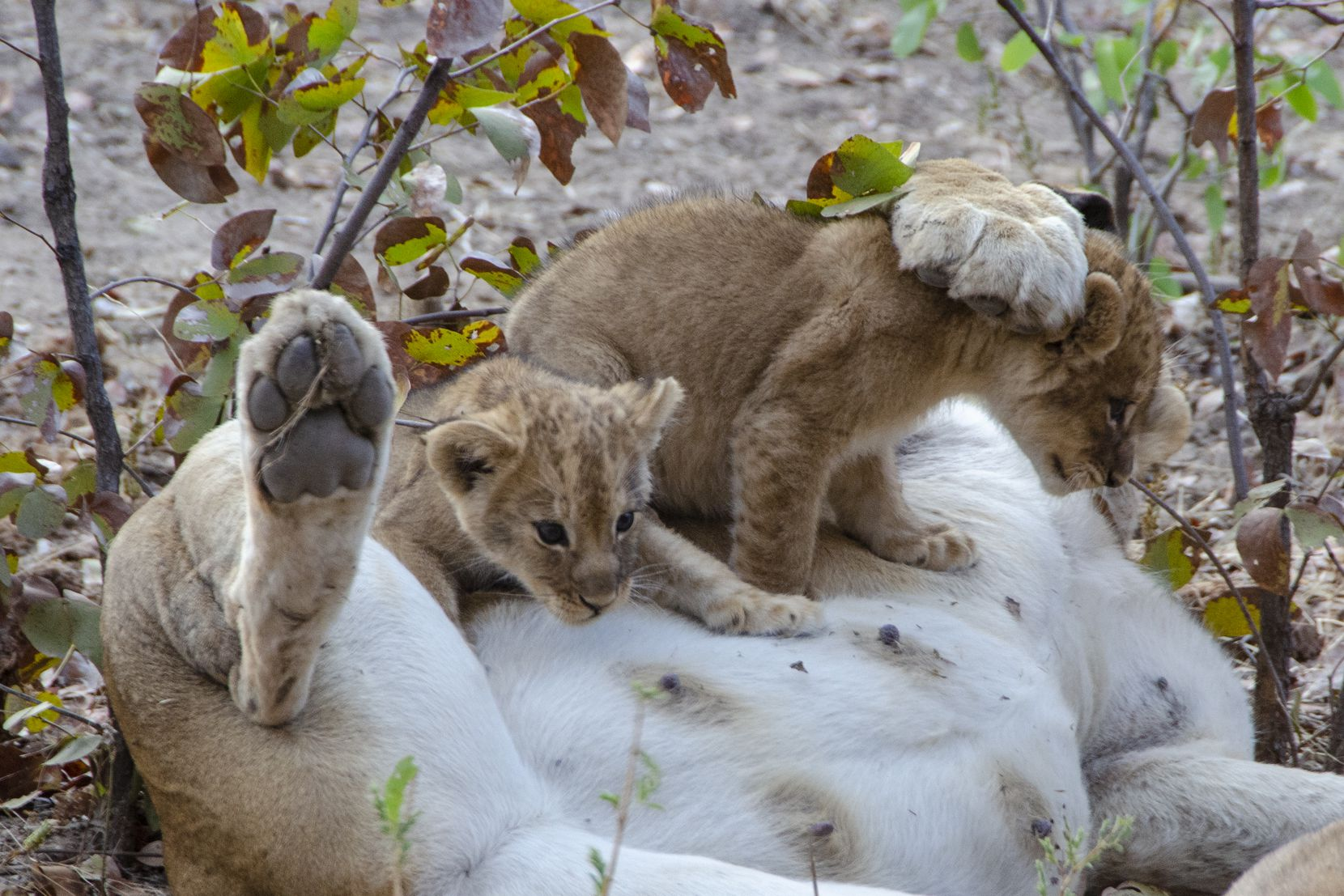 Two lion cubs play with their overfed mother in Zambia's South Luangwa National Park.