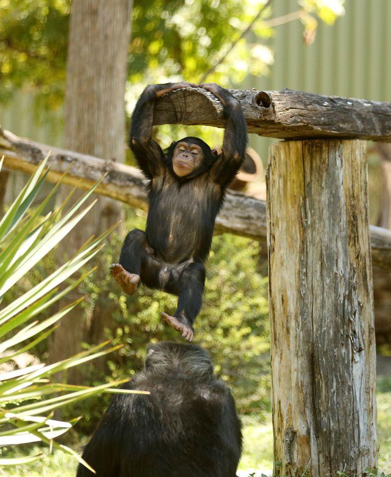 Mshindi, a chimpanzee, plays at the Dallas Zoo.