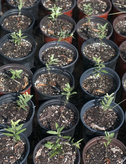 Johnson also has grown limited inventory of the native green milkweed (Asclepias viridis).