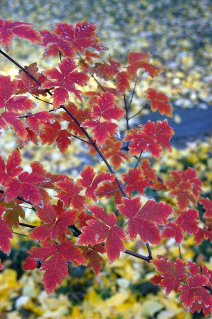 Paperbark maple tree (Acer griseum)