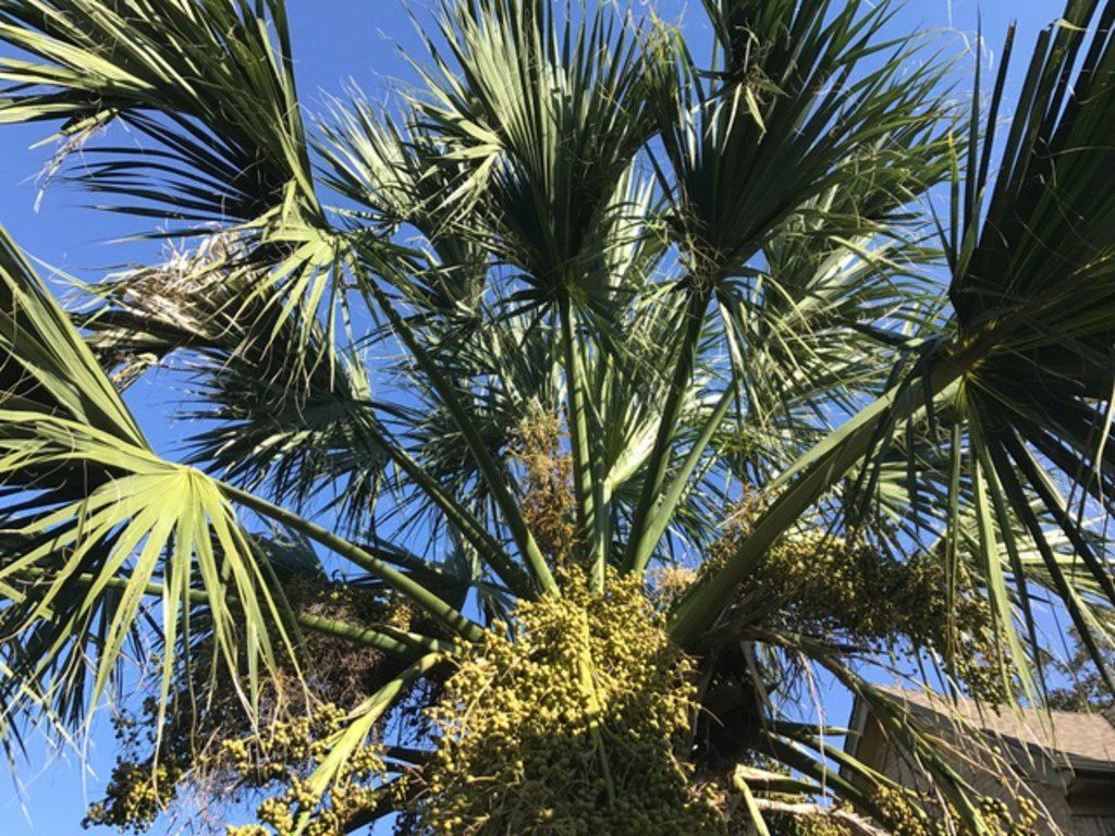 Texas sabal palm (Sabal texana) is a slow-growing palm with thick, smooth, spineless leaf stems and is cold-hardy to about 10 degrees.