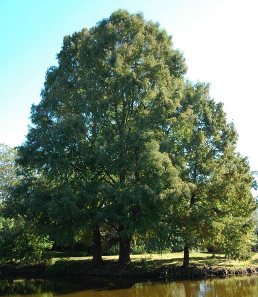 Montezuma cypress tree in Houston