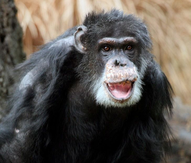 Doyle, the Dallas Zoo's oldest male chimp, died Wednesday, May 29, 2019, from age-related health issues.