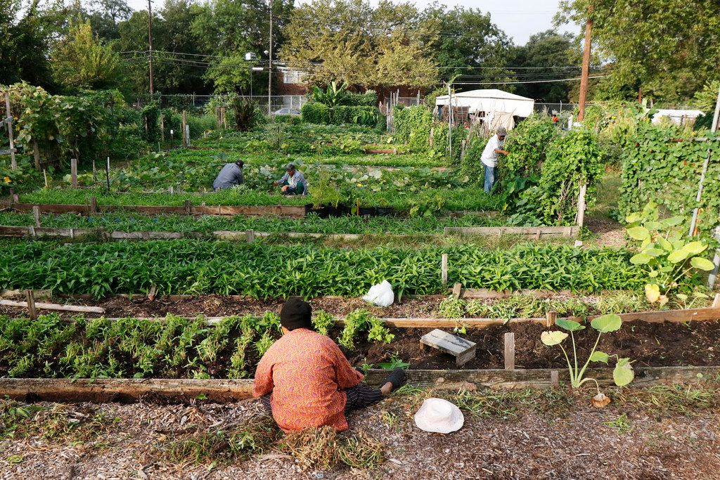 Lon Sok (foreground) works in the East Dallas Community Garden. Gardeners typically harvest at the end of the week, picking vegetables to take home and to sell at the weekend market.
