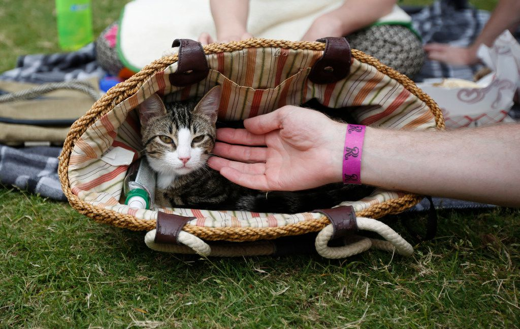 """Six-month-old Schrodinger peeks out of a basket at """"Take Meow to the Ballgame,"""" a day where cat owners are encouraged to bring their cats to the ballpark at Dr Pepper Ballpark in Frisco, Texas, Sunday, May 21, 2017."""