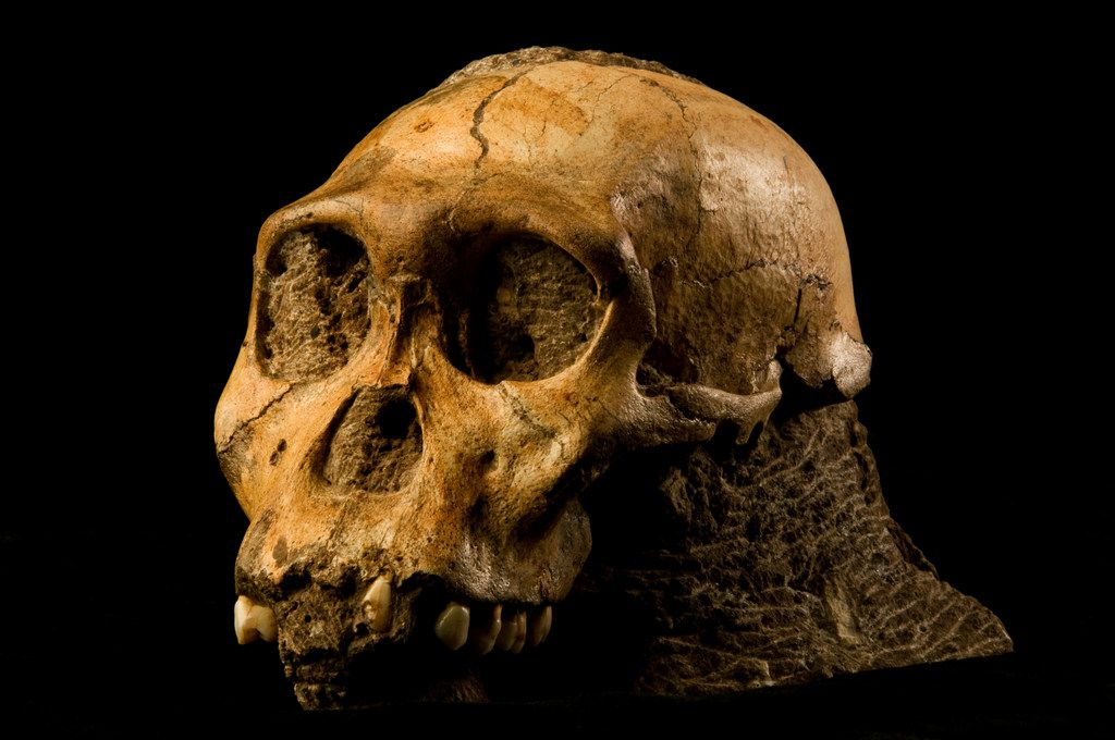 Au. sediba skull in rock.