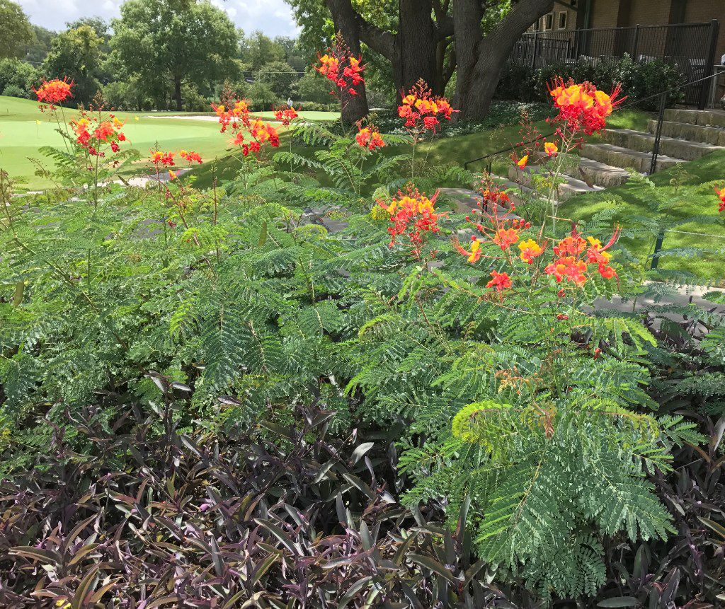 The pride of Barbados (Caesalpinia pulcherrima) is a great option for North Texas.