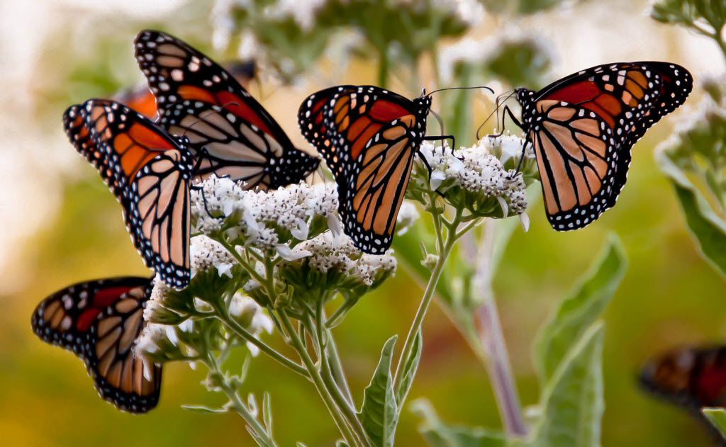 Frostweed goes unnoticed until its fall flowers are draped in migrating monarch butterflies.