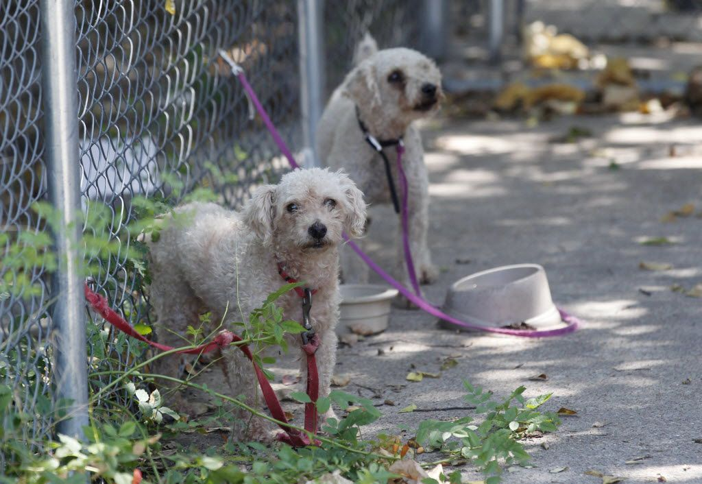 Two of three dogs left tethered by their owner were spotted during a call by Dallas Animal Services animal control officer Esteban Rodriguez in 2015. Dogs are not allowed to be tethered for more than three hours a day. The owner was given three tickets for the offense.
