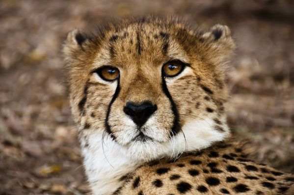 Cheetahs reign at the Hoedspruit Endangered Species Centre. The center is one of several research, conservation and rehabilitation facilities in southern Africa working to preserve Africa's dwindling numbers of big cats