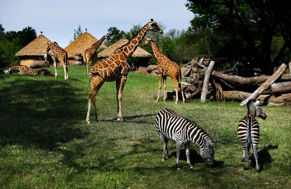 Giraffes and Grant's zebras meander about their new environment.