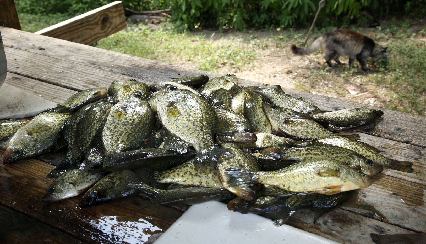 An early-morning haul of crappie lies on the cleaning table as a stray cat eats fish scraps at Johnson Ranch at Caddo Lake in Uncertain, Texas Tuesday June 26, 2018. Crappie is one of the popular pan fish in abundance on the only natural lake in Texas.