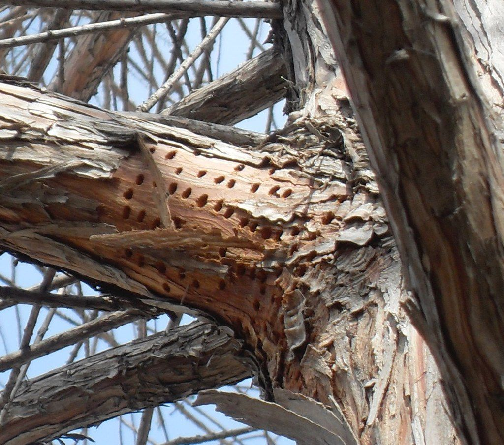 Sapsucker damage on bald cypress trees
