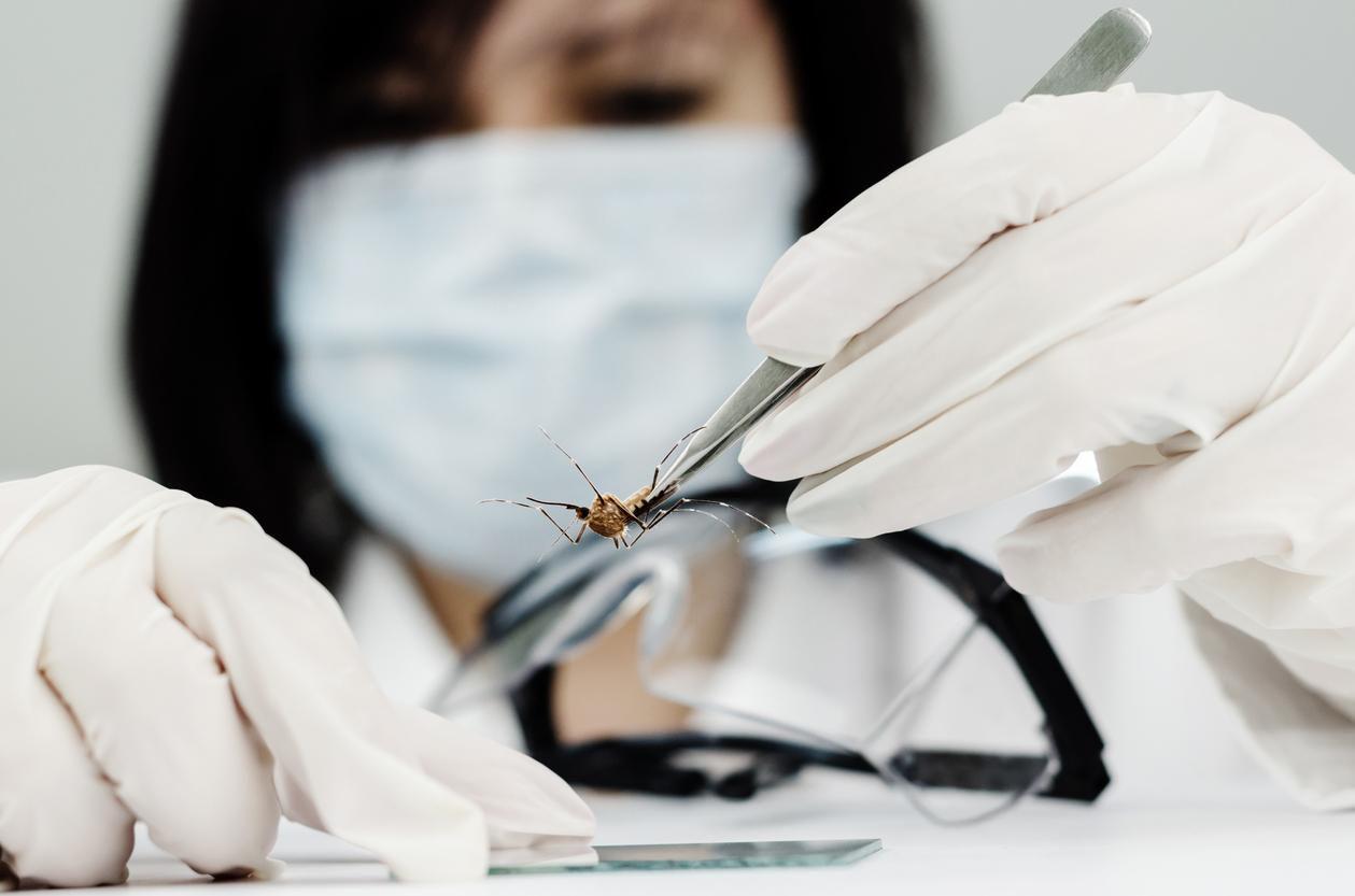 Un médico en un laboratorio examina muestras de mosquitos.(GETTY IMAGES)