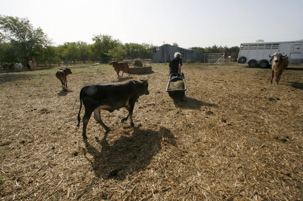 Dottie Love pulls a cart full of hay as she entices her herd of miniature zebu cattle to gather closer to the pens before separating out the ones that were to go to a veterinarian at Fancher Love Ranch in Ennis in August, 2013.