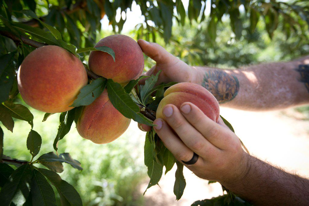 In this July 6, 2017 photo, Jay Hutton picks peaches at Hutton Peach Farm in Weatherford.