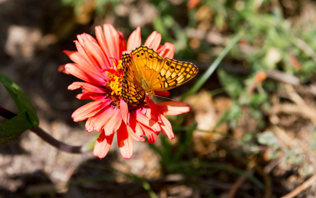 "A Variegated fritillary butterfly sits on a ""Whirligig Mix"" zinnia."