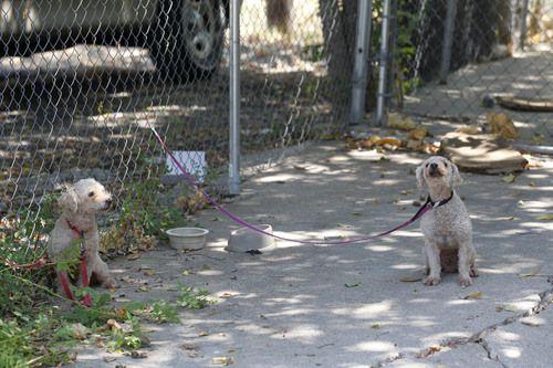 Dos perros que fueron encadenados por su dueño son descubiertos por Servicios Animales de Dallas en agosto 2015. (Michael Ainsworth/DMN)