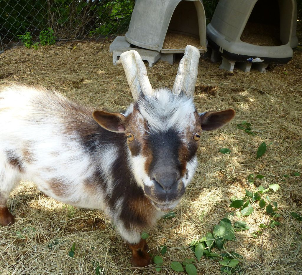 This goat lives at Heritage Village at Chestnut Square, a collection of tree-shaded vintage buildings perfect for the Historic McKinney Farmers Market.