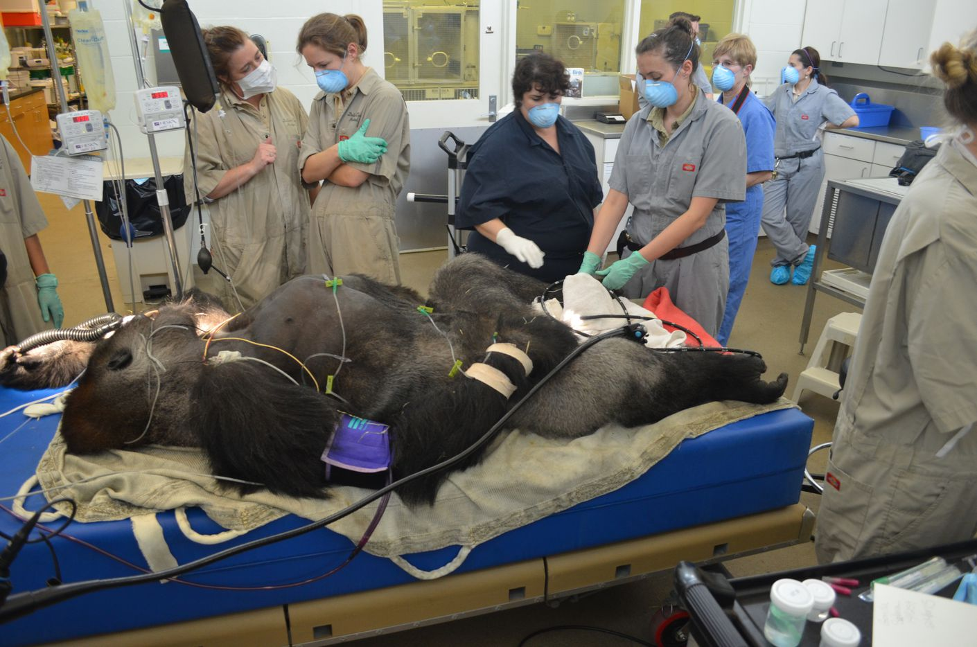 Associate Veterinarian Dr. Maren Connolly, left, discusses Subira's case with Zoo Hospital Manager and veterinary technician Dianna Lydick as keepers Deborah Reid and and Tamera Schilke examine Subira's feet.