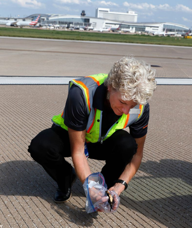Cathy Boyles, Wildlife Administrator for DFW International Airport picks up a barn swallow on the runway after it flew into an airplane at DFW International Airport on Wednesday, August 23, 2017. (David Woo/The Dallas Morning News)